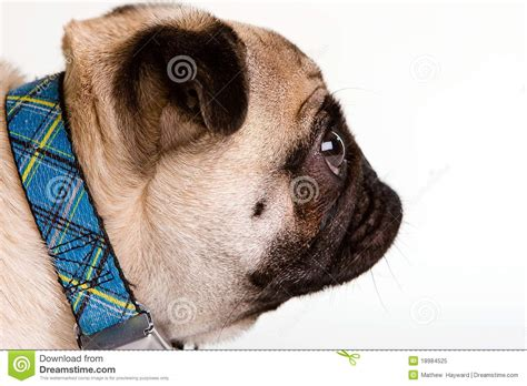 pug breed profile pug profile stock image image of collar breed looking 18984525