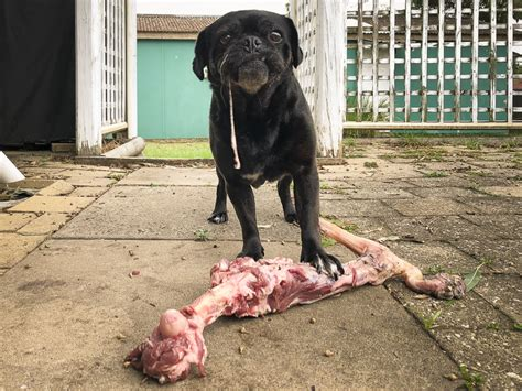 what to feed a pug feeding for pugs bones the pug diary
