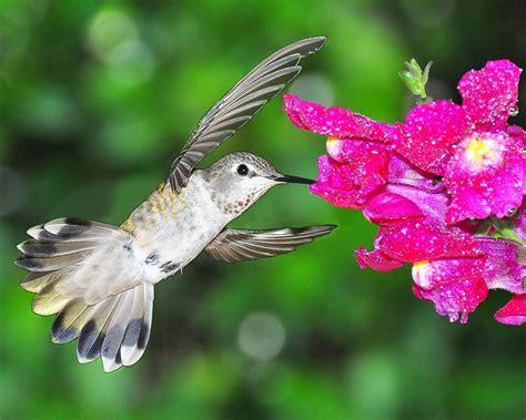 8 hummingbird facts for bird lovers eotw online