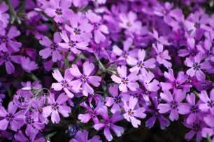 Flower Sg - violet s buds april showers finally bring some flowers