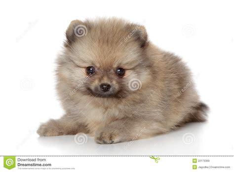 pomeranian no pomeranian spitz puppy royalty free stock images image 22173369