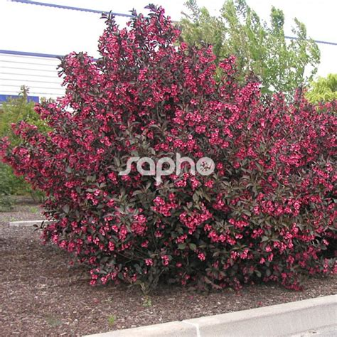 Dark Foliage Plants - weigela florida alexandra sapho