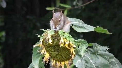 squirrel eating sunflower seeds hd 07 08 2014 youtube