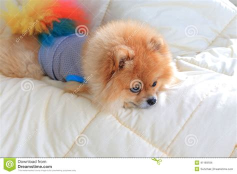 pomeranian wearing clothes pomeranian grooming wear clothes on bed stock photo image 41169184