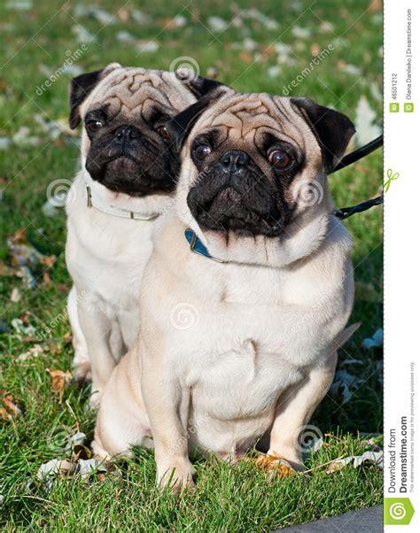 two pug puppies two pug stock photo image 46501212