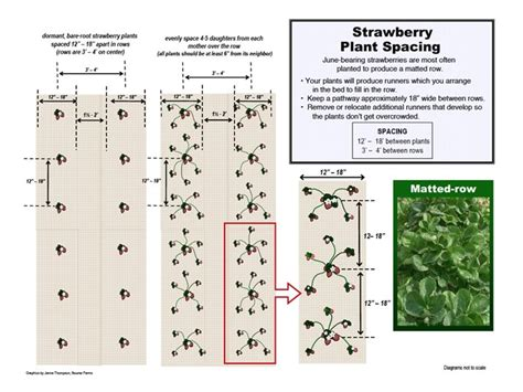 fruit tree spacing chart albion strawberry plant small fruit plants shipped from