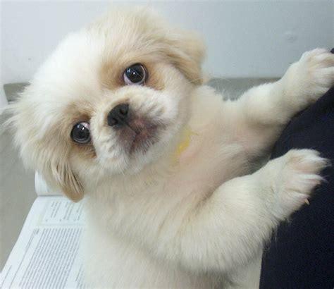 pekingese pomeranian puppies pekingese puppy