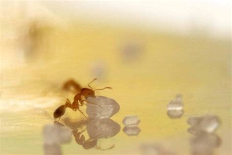 rid  sugar ants naturally kill sugar ants
