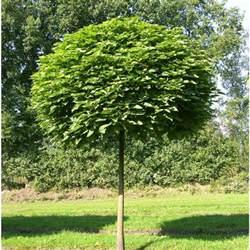 Tree Planter Box by Catalpa Boule Catalpa Bignoniodes Nana