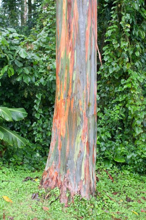 rainbow trees rainbow eucalyptus damn cool pictures