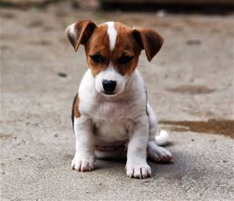 chubby puppies single pack jackrussell terrier toys jack russell jack russell terrier pinterest jack o