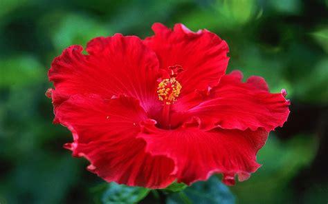 ste a fiori fiore rosso wallpaperart