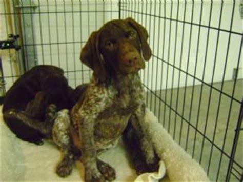 german shorthair puppies for sale mn german shorthair pups for sale in mn best clip in hair extensions