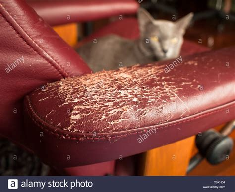 my cat scratched my leather couch scratched furniture ripped off by a cat stock photo