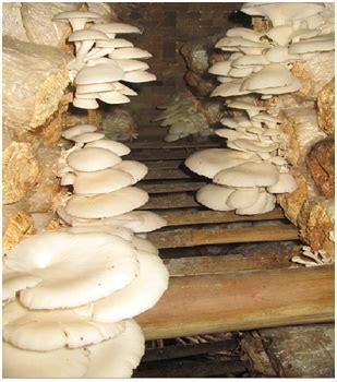bibit jamur tiram konsultasi  berbagi pengalaman