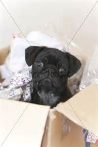 6 month pug 6 month pug puppy in a box animals