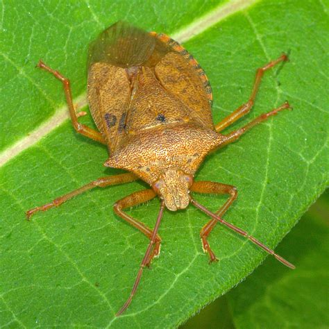 spined soldier bug  shipping planet natural