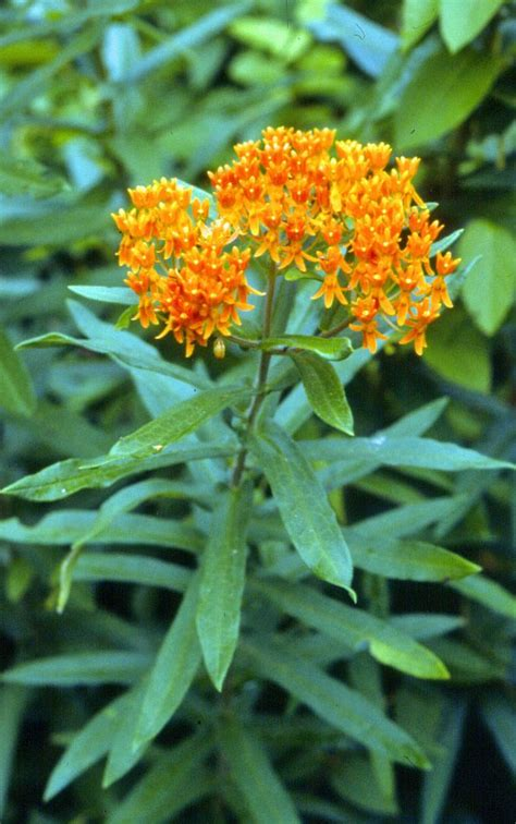 butterfly milkweed play in the dirt pinterest
