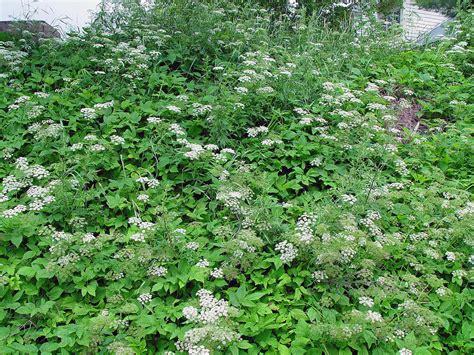 Simple Gardens aegopodium podagraria bishop s goutweed go botany
