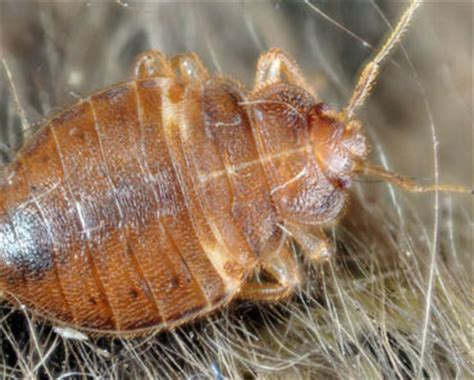does diatomaceous earth kill bed bug eggs does diatomaceous earth kill bed bug eggs what kills bed