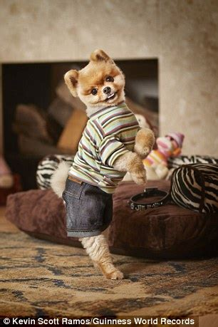 jiff pomeranian for sale jiff the pup is the fastest on two paws daily mail