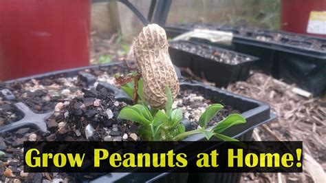 how to grow peanuts in the home garden cook them to eat