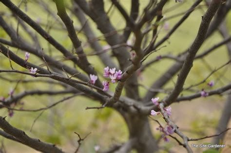 cercis ace of hearts the site gardener