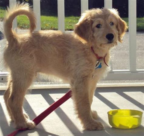 goldendoodle vs golden retriever goldendoodle and golden retriever assistedlivingcares
