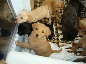 Free Puppies Labrador Puppies For Sale Labrador Puppies For Sale