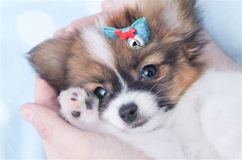papillon puppies for sale 17 best ideas about papillon puppies for sale on papillon puppies