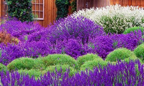1 Pack Benih Lavender Seed pack of 30 lavender plants groupon goods