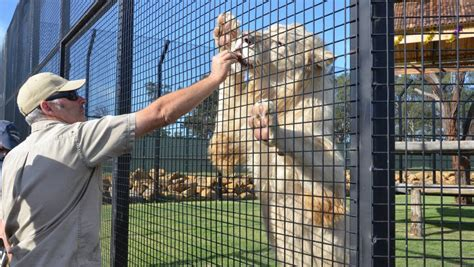 film when the lion feeds white lions debut at hunter valley zoo photos video