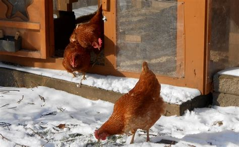 backyard chickens in winter 7 secrets to caring for backyard chickens in winter