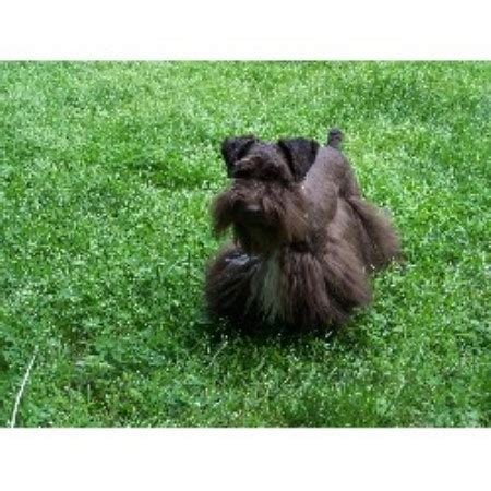 miniature schnauzer puppies for sale in nc kalapo schnauzers miniature schnauzer breeder in hays carolina listing id 18583