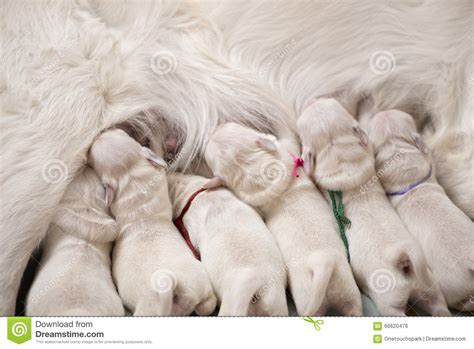puppies milk puppies milk from stock photo image 66620476