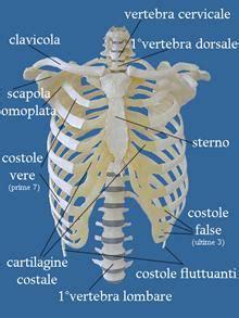 gabbia toracica ossa l apparato scheletrico la struttura delle ossa