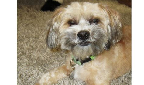 shih tzu yorkie mix facts the colors of the yorkieshihtzu mix pictures breeds picture