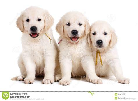 black and white golden retriever pictures chiot de labrador de trois blancs sur le fond blanc image