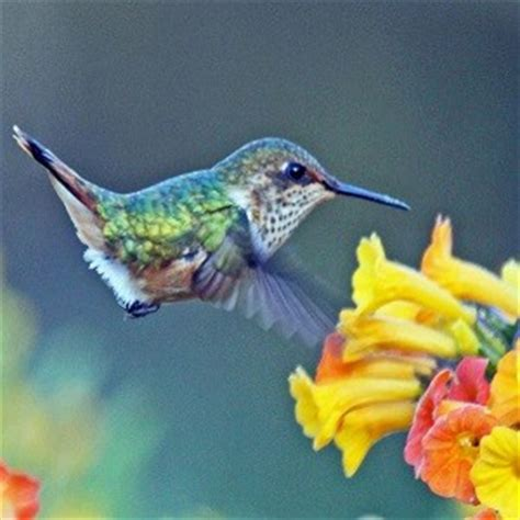hummingbird facts top 20 facts about hummingbirds
