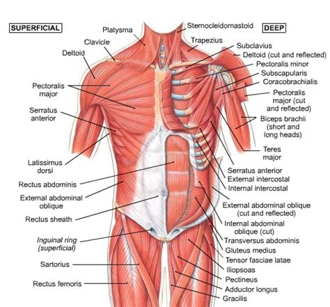 abdominal diagram abdominal wall muscles anatomy muscles of the anterior