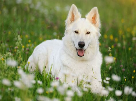 white german shepard puppy german shepherd a sturdy loving intelligent brave agile and strongly dedicated