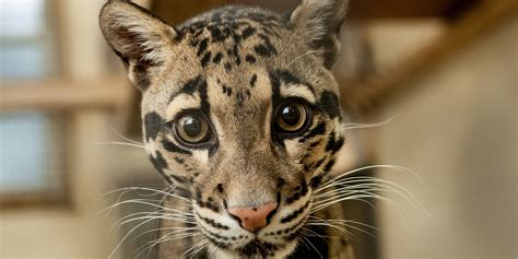 s leopard adopt a clouded leopard smithsonian s national zoo