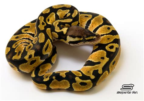 reduced pattern pastel ball python ball pythons piebald morphs serpents den com