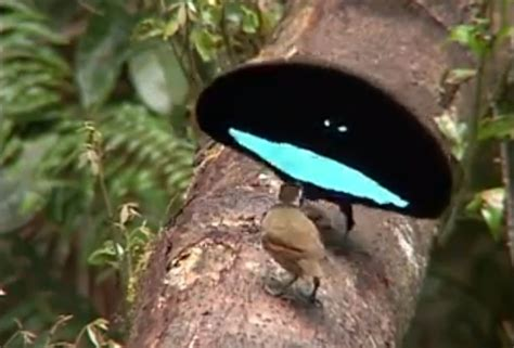 8 beautiful improbable bird of paradise courtship rituals