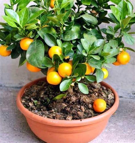 jenis tanaman buah  pot  cepat berbuah