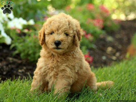 goldendoodle puppies for sale in pa bully testimonials autos post