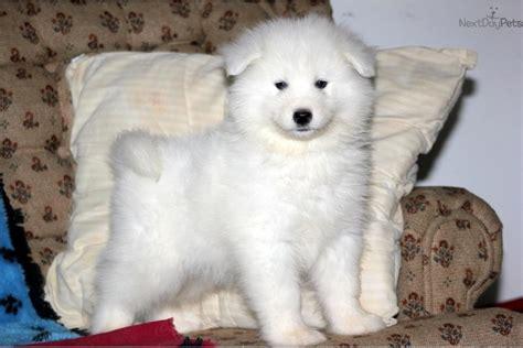 samoyed puppy for sale samoyed puppy for sale near lancaster pennsylvania 3af0577b ef81
