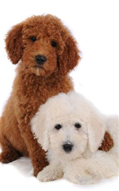 mini goldendoodles ready for 9 best images about poodle haircuts accessories on