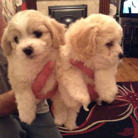 cavachon puppies for sale pin cavachon puppies for adoption on