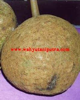 Bibit Durian Musang King Lombok bibit durian musang king durian unggul rajanya buah
